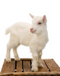 White baby goat on crate