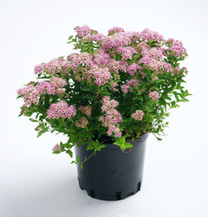 Spiraea japonica Japanese Dwarf in a pot on a white background