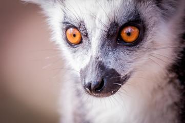 Portrait de lémurien maki catta