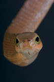Boomslang / Dispholidus typus