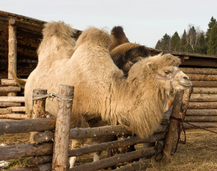 Portrait of a camel close up shot.