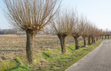 Row of leafless pollard willows next to a country road