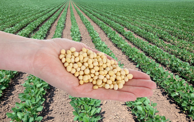 Agriculture concept, hand holding soybean and soy field