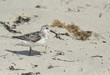 Sandpiper bird walking on the sand