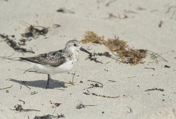 Sandpiper bird walking on the sand
