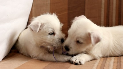 Puppies West Highland Terrier