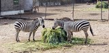 Zebra family eating  grass in the zoo awesome