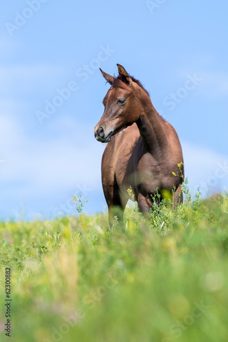 Foal in a summer pasture