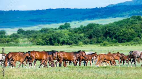 Herd of Arabian horses on the field returns home