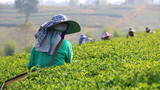 Harvesting green tea bush