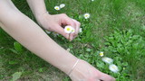 woman hands pick small daisy flower blooms