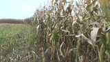 corn ripening ear mature maize field