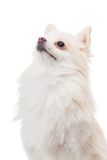 White pomeranian looking at top