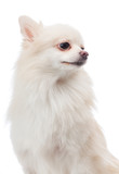 White pomeranian looking aside