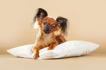 Puppies Russian toy terrier on a light brown background