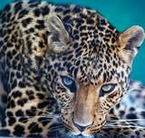 Leopard - 62305034