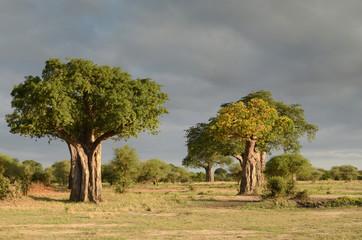 baobab dans la savane