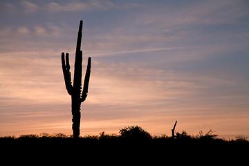 Saguaro in the Sunset