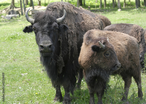 Adult American Bison and Calf