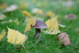 Boletus mushroom in the grass