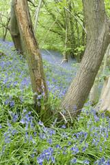 Bluebell flowers in Spring woodland, Sheffield UK