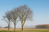Three leafless trees in row