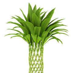 bamboo plant isolated on white background
