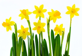 Fresh yellow daffodils