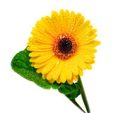 Yellow gerbera