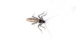 A mosquito standing on a white wall