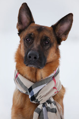 Pretty brown shepherd sitting in a scarf