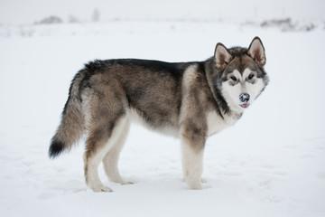 Alaskan Malamute stands