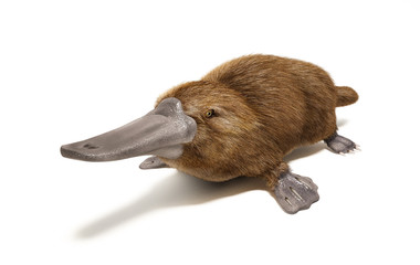 Platypus duck-billed animal.