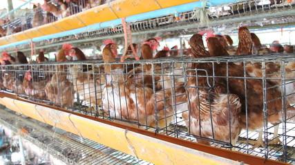 Chicken in farm, hen egg.