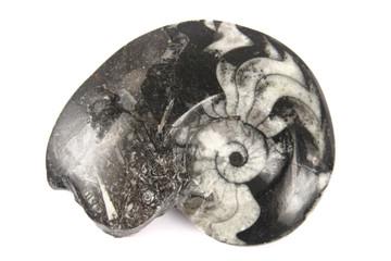 black amonite