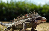 Close up of a native iguana on a Caribbean island