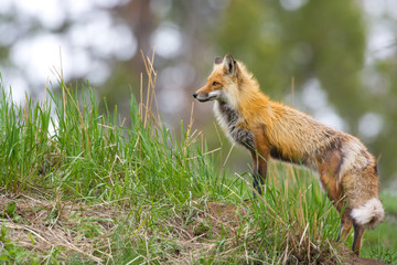 Red Fox. Yellowstone National Park