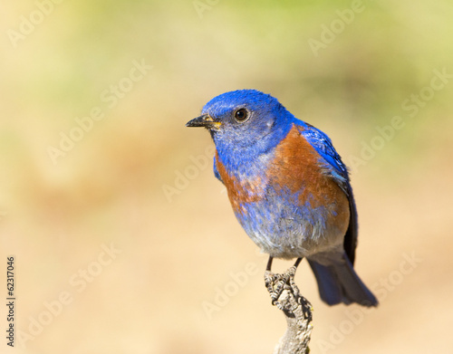 Western Bluebird, Oregon