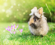 spring hare baby in garden on grass with crocus flowers