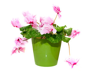 Pink Flower Isolated on White in a Pot
