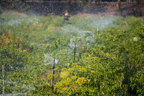 Sprinkler in chili field