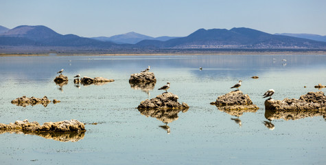 california gull flying over the beautiful Mono Lake
