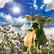 Glückliche Schweizer Kuh :)