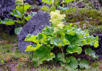 Rhubarb (Rheum altaicum L.)