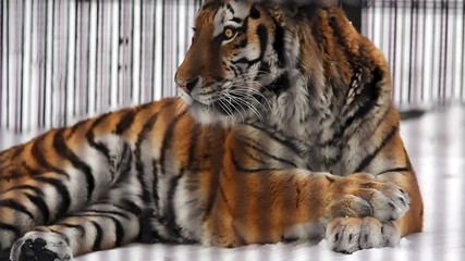 Portrait of the Amur tiger in winter
