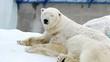 Portrait of a polar bear resting in a zoo