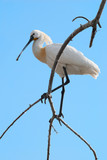 Eurasian Spoonbill (Platalea leucorodia) with crest on a branch