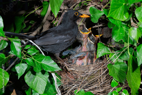 Common blackbird (Turdus merula) male at nest feeding chicks