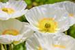 weiße Mohnblumen