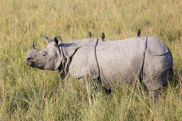 One horned rhinoceros in Kaziranga National Park